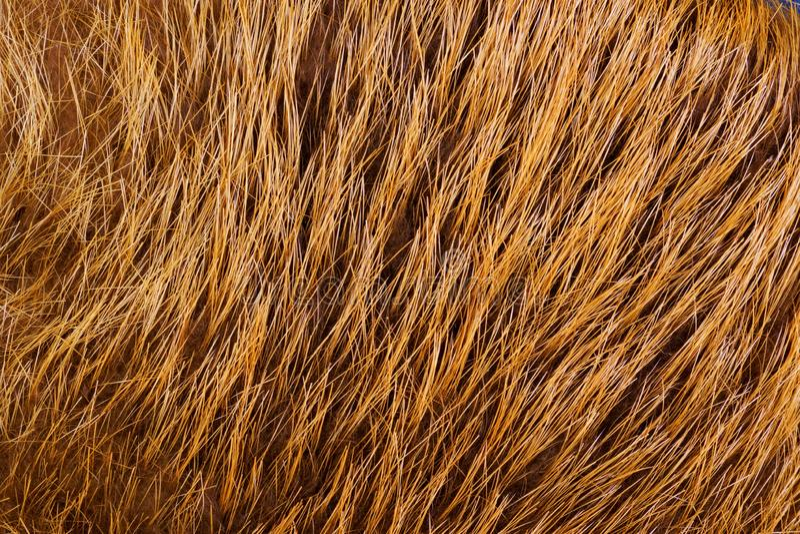 La piel de las pieles del castor de los animales del piel-transporte bronceadas con las lanas Piel — el pelo mamífero, protege a  imagen de archivo libre de regalías