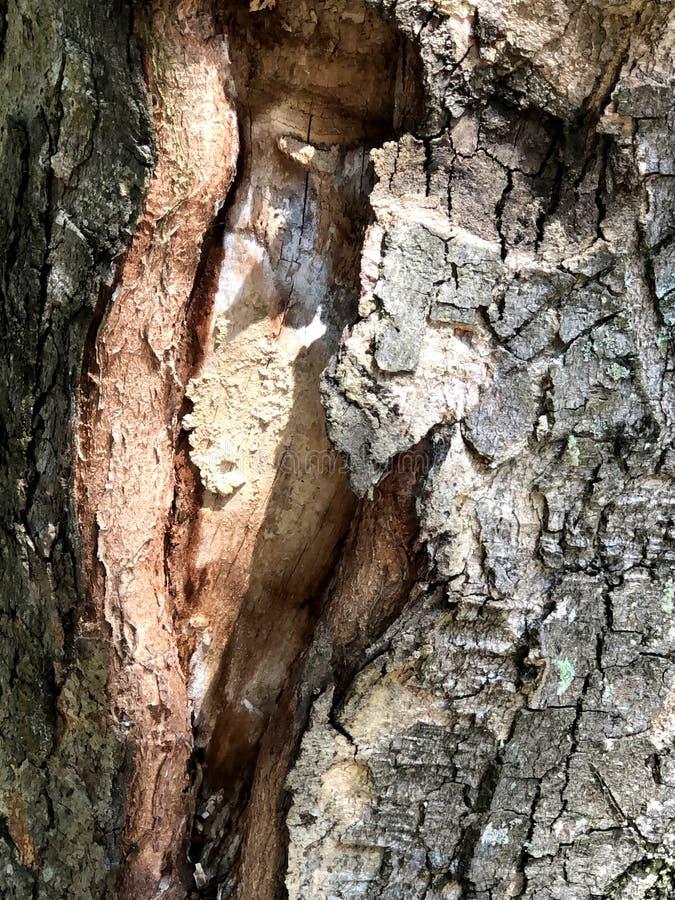 La piel del árbol Naturaleza única del parque del bosque y de la ciudad fotos de archivo libres de regalías