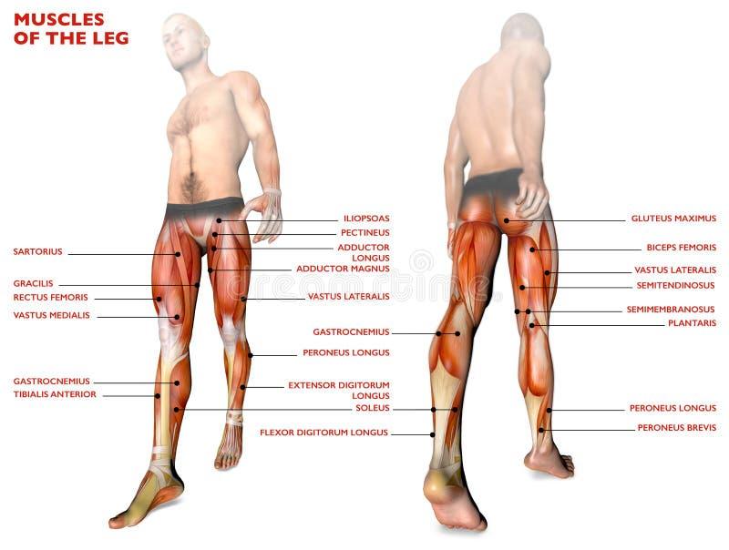 La Pierna Muscles, Cuerpo Humano, Anatomía, Sistema Muscular ...