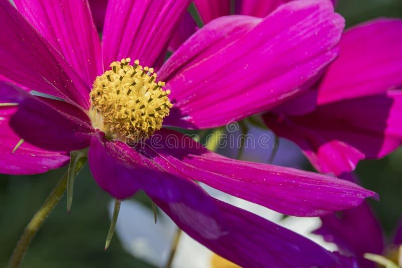 La pieza del jefe de la flor rosada del cosmea fotos de archivo libres de regalías