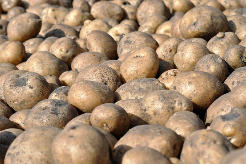La pile de la pomme de terre récemment récoltée images libres de droits