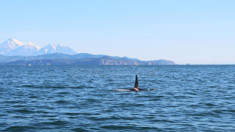 La pinna dorsale di un'orca è visibile sopra le acque dell'oceano Pacifico vicino alla penisola di Kamchatka, Russia Avachinsky fotografia stock libera da diritti