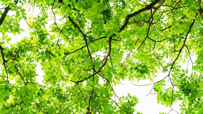 La pintura del Watercolour del verde sale del fondo de los árboles imagenes de archivo