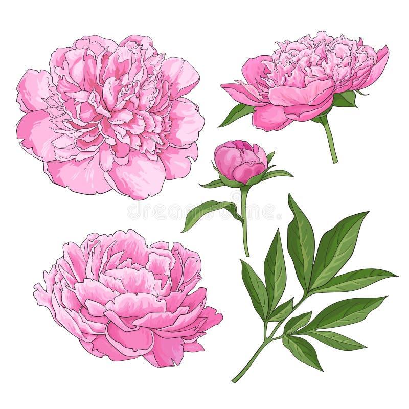 La pivoine fleurit, bourgeonne, des feuilles, illustration tirée par la main de vecteur de style de croquis illustration de vecteur