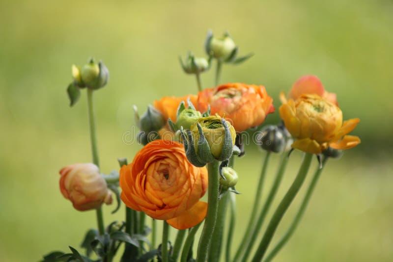 La pivoine orange fraîche s'est levée image libre de droits