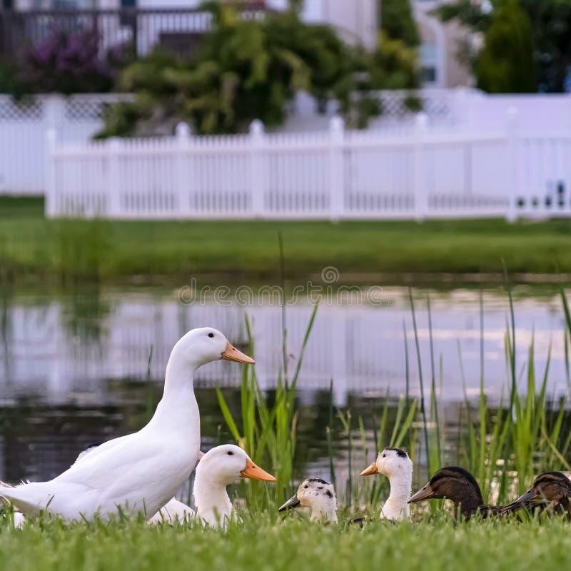 La place se ferment des canards blancs et bruns sur un terrain herbeux près d'un étang brillant photo stock