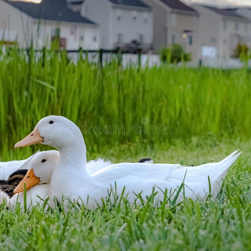 La place se ferment des canards blancs et des canetons bruns sur le terrain herbeux près d'un étang photo stock