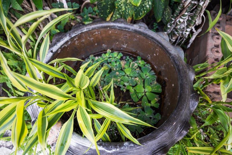 La planta acuática en el pote de la loza de barro para adorna el jardín fotos de archivo