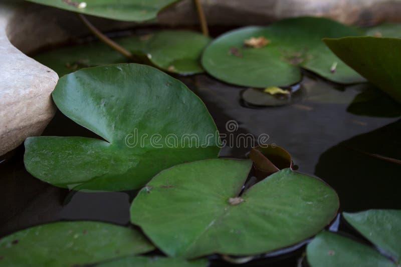 La planta acuática se va en superficie de la charca fotografía de archivo