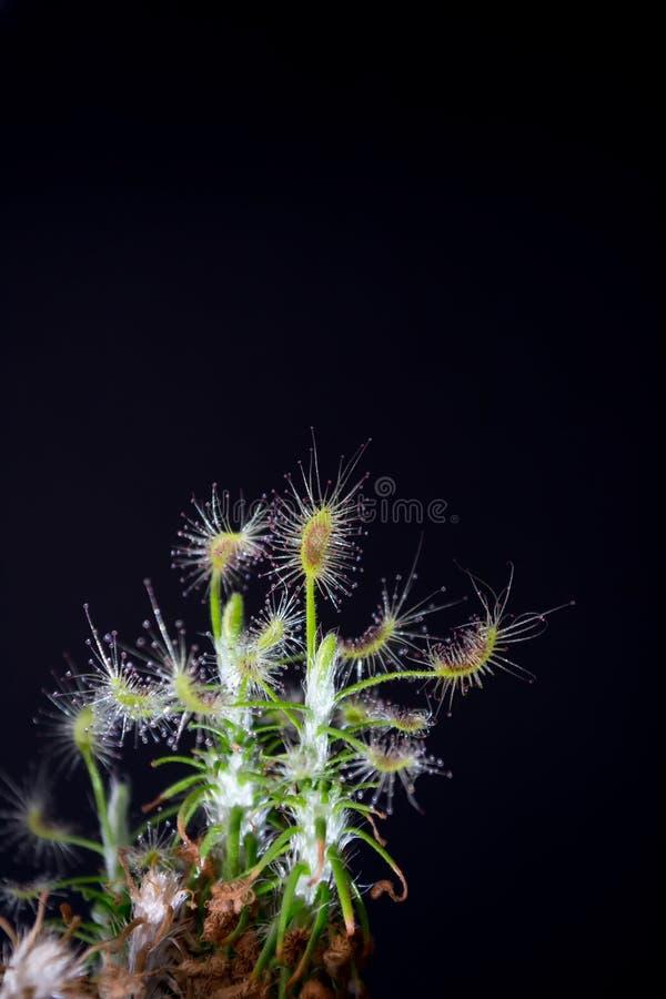 La planta carnívora nombró a Drosera, encontrado a menudo en pantanos Scorpioides despredadores del Drosera de la planta carnívor fotos de archivo libres de regalías