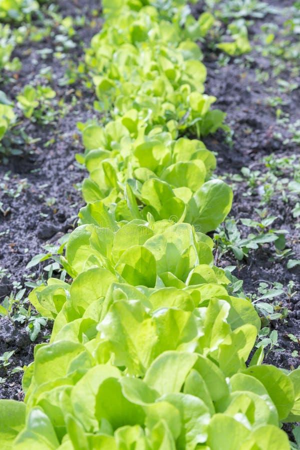 La planta de la ensalada de la lechuga de Butterhead, verdura hidrop?nica se va ensalada verde fresca en suelo y potes, ensalada  fotografía de archivo