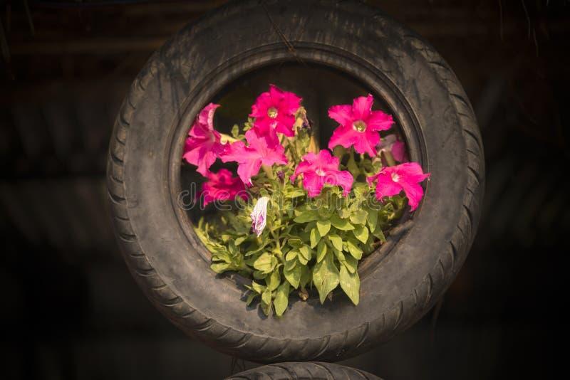 La planta de la flor del geranio que crece en el neumático fotografía de archivo libre de regalías