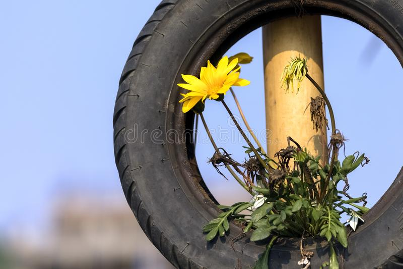 La planta de la flor que crece en el neumático imagenes de archivo