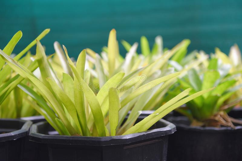 La planta de la hoja de la bromelia en pote adorna en el jardín de la bromelia imágenes de archivo libres de regalías