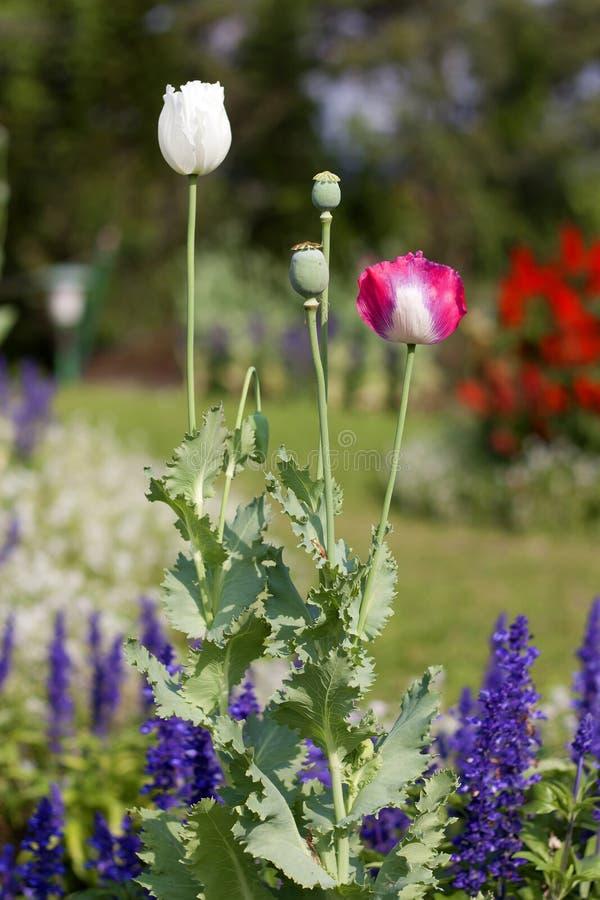Flor de la amapola imagen de archivo imagen de jard n for Amapola jardin de infantes palermo