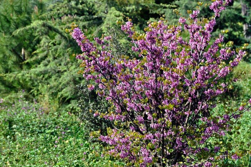 La Planta De La Lila Florece Colores Del Resorte Foto de archivo ...