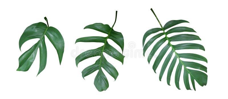 La planta de Monstera se va, la vid imperecedera tropical aislada en el fondo blanco, trayectoria foto de archivo libre de regalías