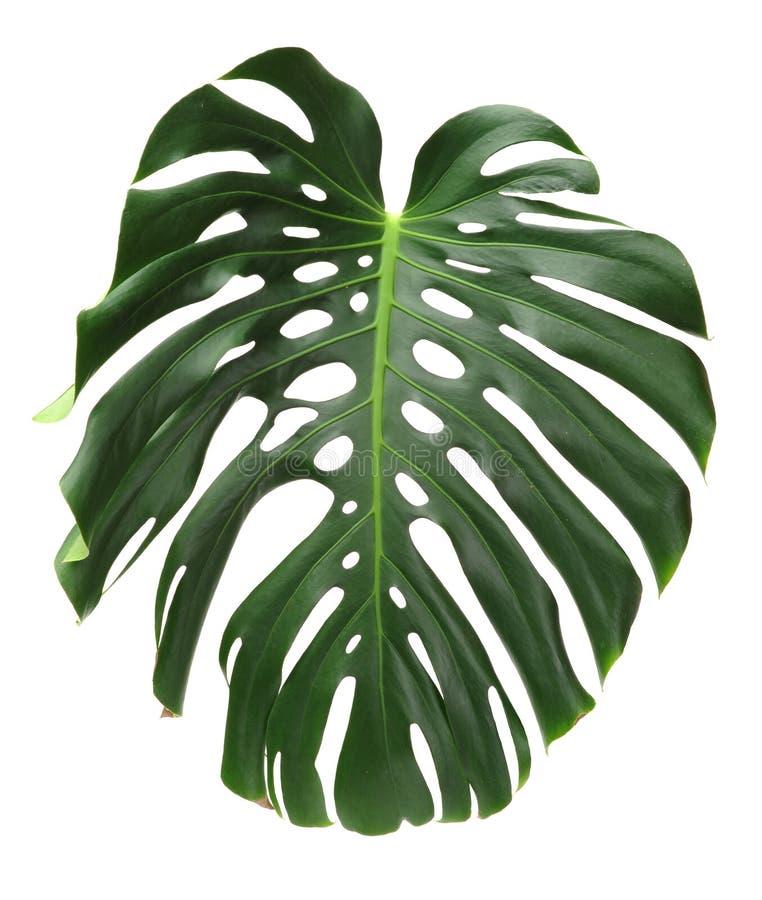 La planta de Monstera se va, la vid imperecedera tropical fotografía de archivo libre de regalías