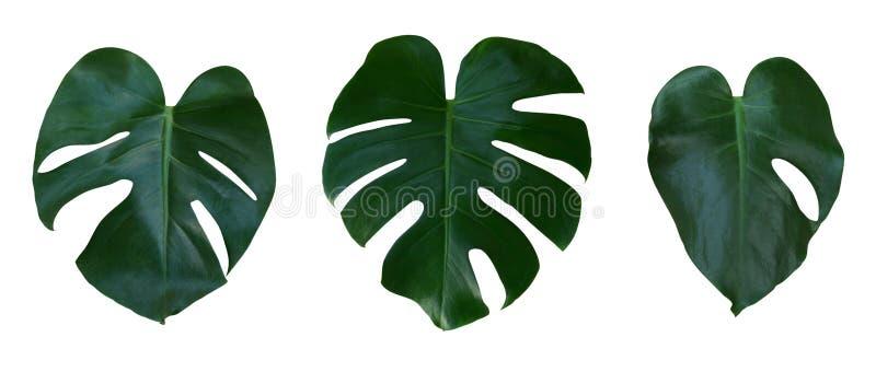 La planta de Monstera se va, la vid imperecedera tropical aislada en el fondo blanco, trayectoria foto de archivo