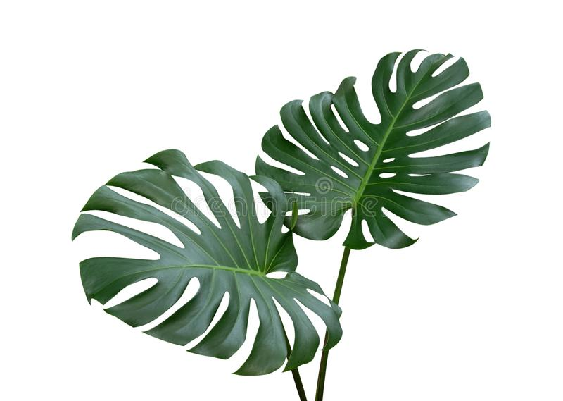 La planta de Monstera se va, la vid imperecedera tropical aislada en el fondo blanco, trayectoria imagen de archivo