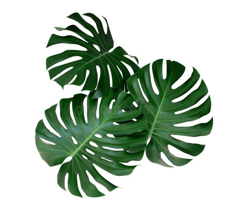 La planta de Monstera se va, la vid imperecedera tropical aislada en el fondo blanco, trayectoria fotografía de archivo libre de regalías