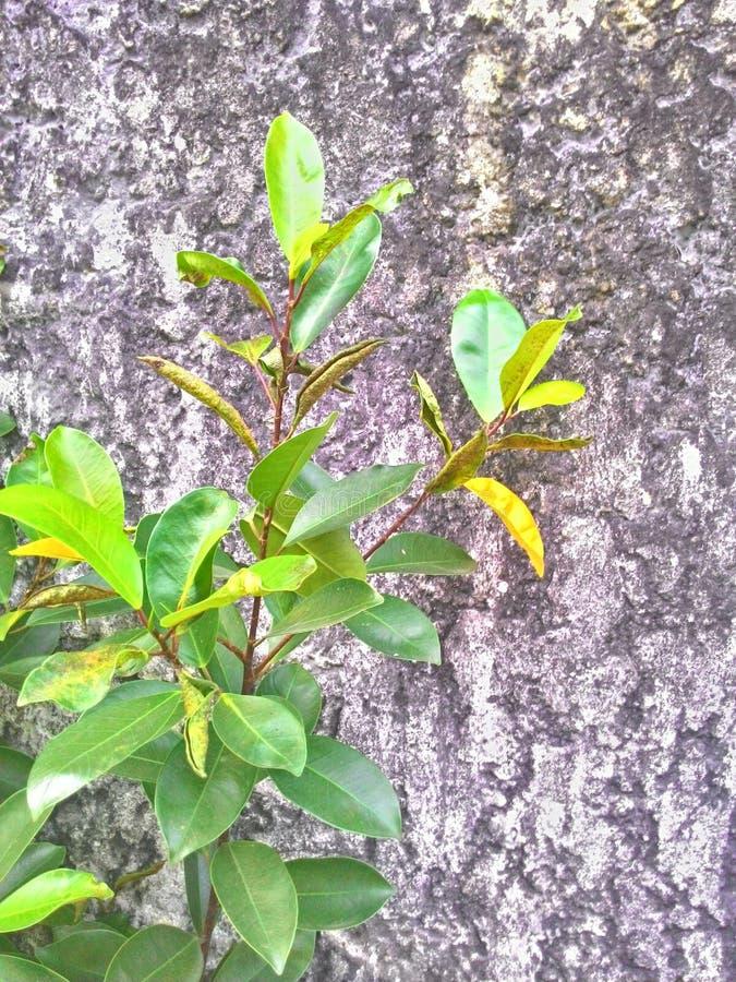 La planta del árbol en el muro de cemento de la grieta imagen de archivo libre de regalías