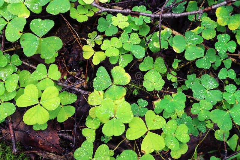 La planta del alazán es una especie del Trifolium en un bosque como fondo fotos de archivo