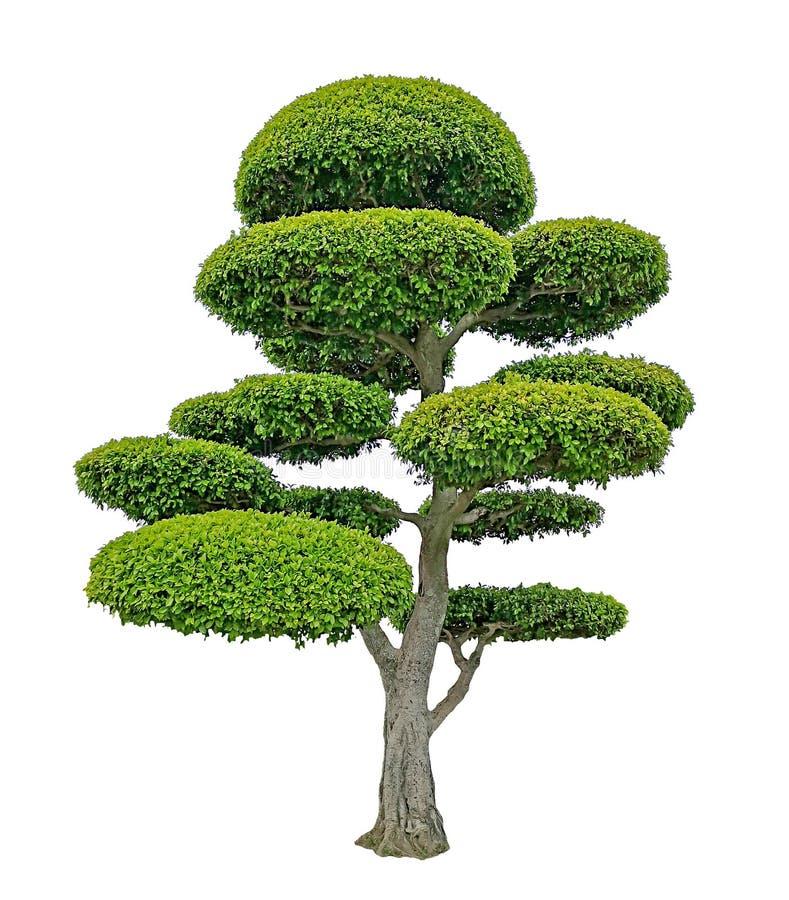 La planta del arbusto de los ficus del verdor aislada en el fondo blanco, los di verdes del arbusto de las hojas cort? con la tra fotos de archivo