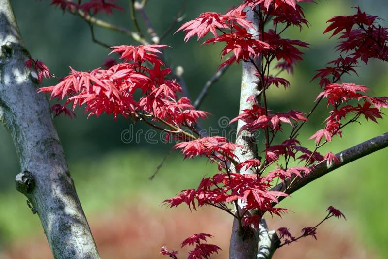 La planta del arce con rojo sale del griseum de Acer imágenes de archivo libres de regalías