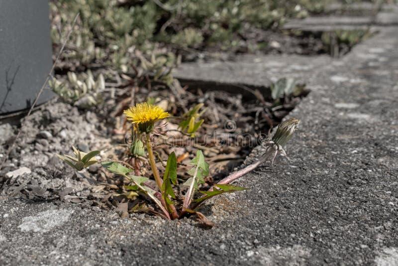 la planta del diente de león crece entre las losas del pavimento foto de archivo