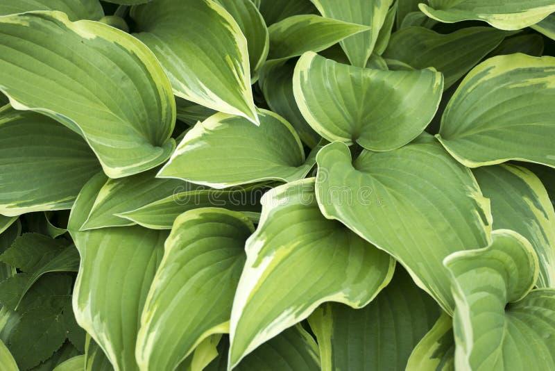 La planta del Hosta con las hojas verdes texturiza el fondo en día lluvioso, plantas en jardín con las gotas de agua fotografía de archivo libre de regalías