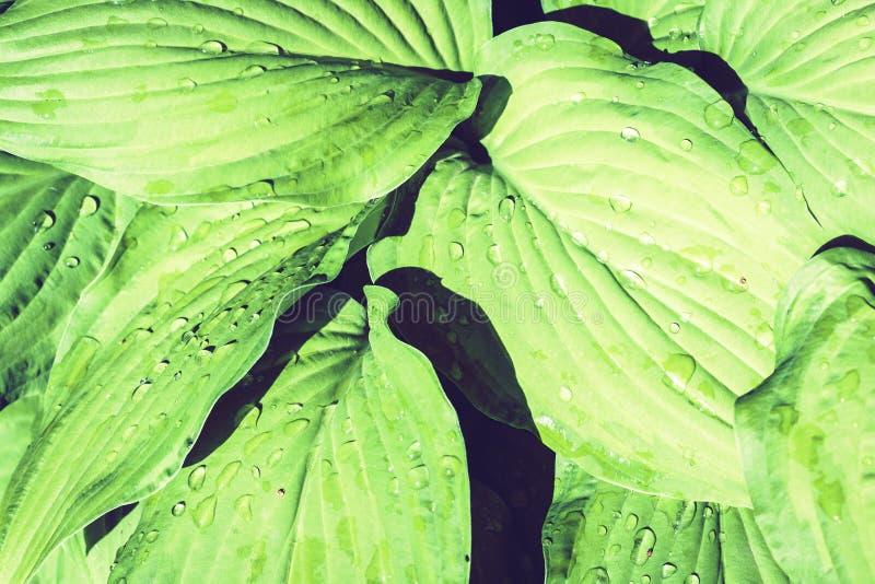 La planta del Hosta con las hojas verdes texturiza el fondo en día lluvioso, plantas en un jardín con las gotas de agua fotografía de archivo