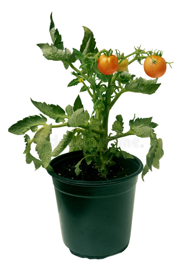 La planta en conserva del almácigo del tomate con las flores y el rojo da fruto isolat fotografía de archivo