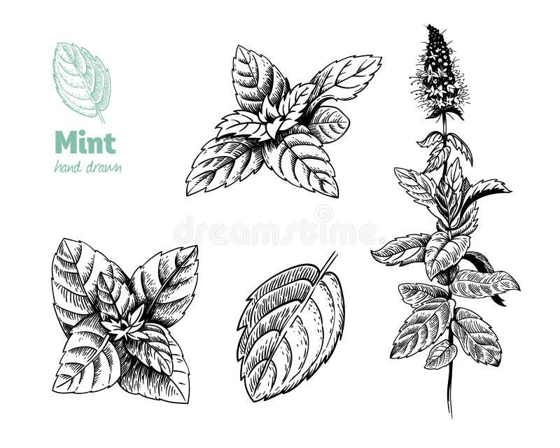 La planta, las hojas y las flores de la hierbabuena vector el ejemplo dibujado mano ilustración del vector