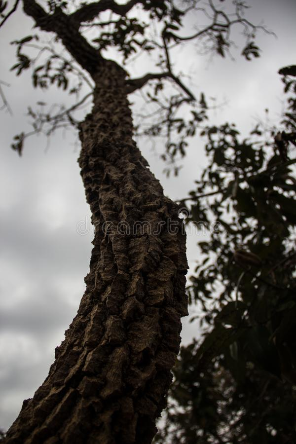 La planta medicinal del cerrado brasileño, ésta es el barbatimão foto de archivo libre de regalías