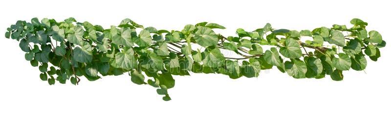 La planta sale del ?rbol tropical del follaje del arbusto Vid, ca?da del verde de la hiedra aislada en el fondo blanco, trayector fotos de archivo