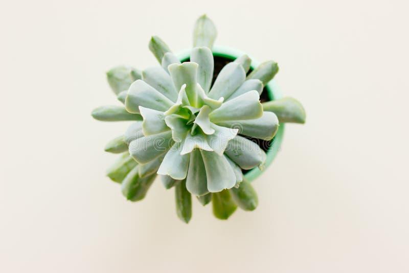 La planta suculenta en pote en el fondo blanco fotografía de archivo