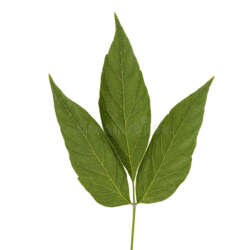 La planta verde se va aislado en el fondo blanco foto de archivo