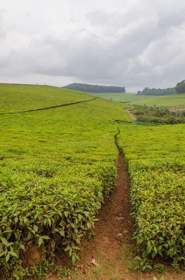 La plantación de té más grande del Camerún, África con las trayectorias que llevan a través en día cubierto imagen de archivo libre de regalías