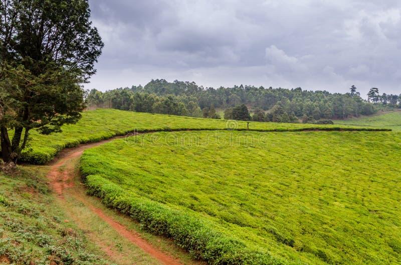 La plantación de té más grande del Camerún, África con las trayectorias que llevan a través en día cubierto fotos de archivo