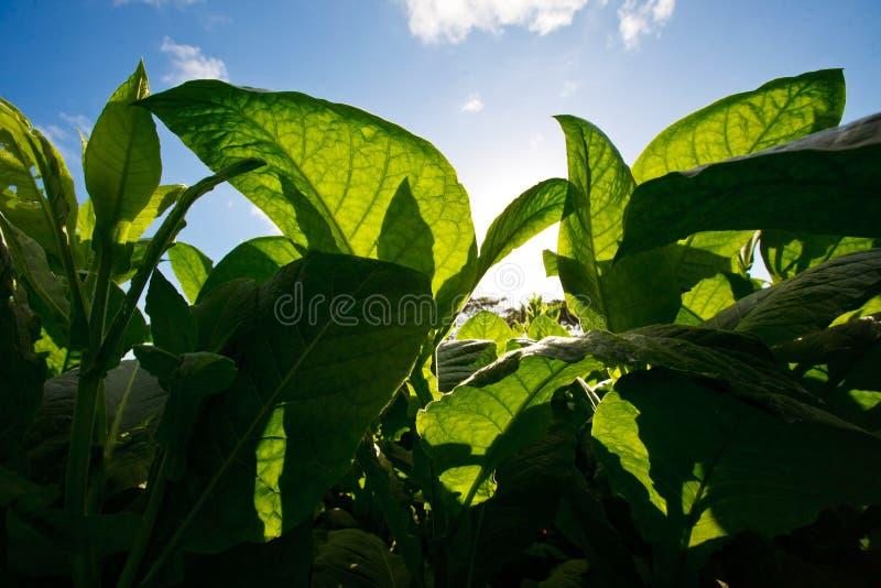 La plantación del tabaco sale - de Cuba fotografía de archivo libre de regalías