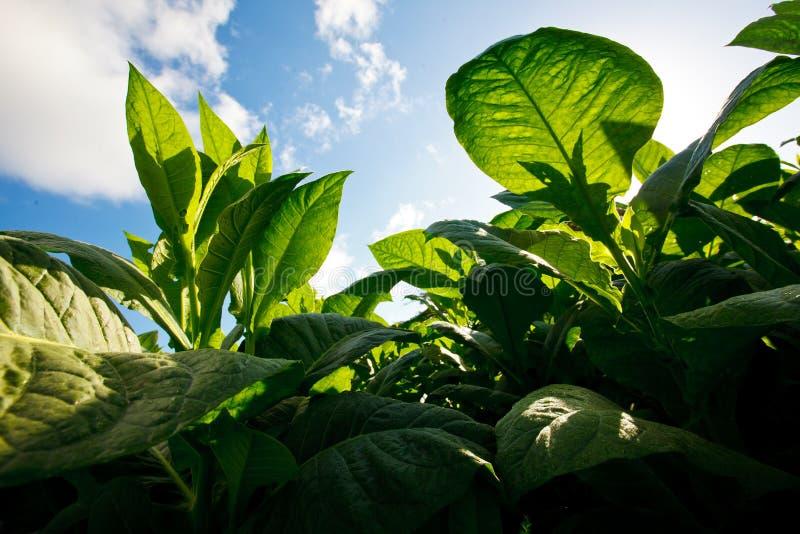 La plantación del tabaco sale - de Cuba foto de archivo libre de regalías
