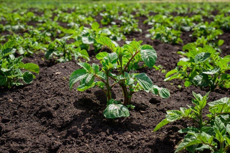 La plantation de la jeune pomme de terre pousse dans un domaine avec le sol noir photographie stock
