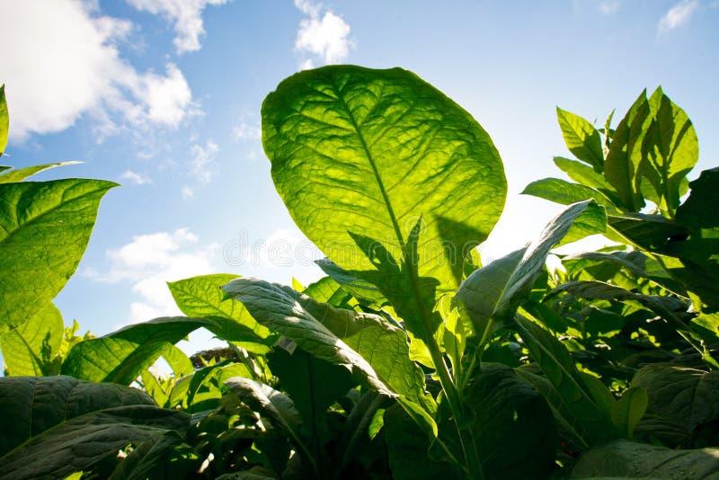 La plantation de tabac quitte - le Cuba photographie stock libre de droits