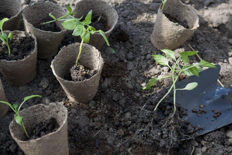 La plantation des jeunes poivre des jeunes plantes dans des pots de tourbe sur le fond de sol photo stock