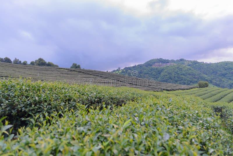 La plantation et beaucoup de thé autoguident sur la montagne avec la tache floue de police avec le sel photos stock