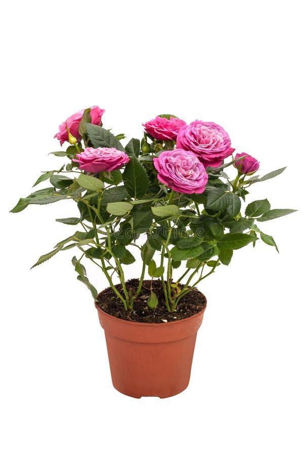 La plante d'intérieur mini s'est levée avec de petites fleurs roses dans un pot brun d'isolement sur le fond blanc photographie stock
