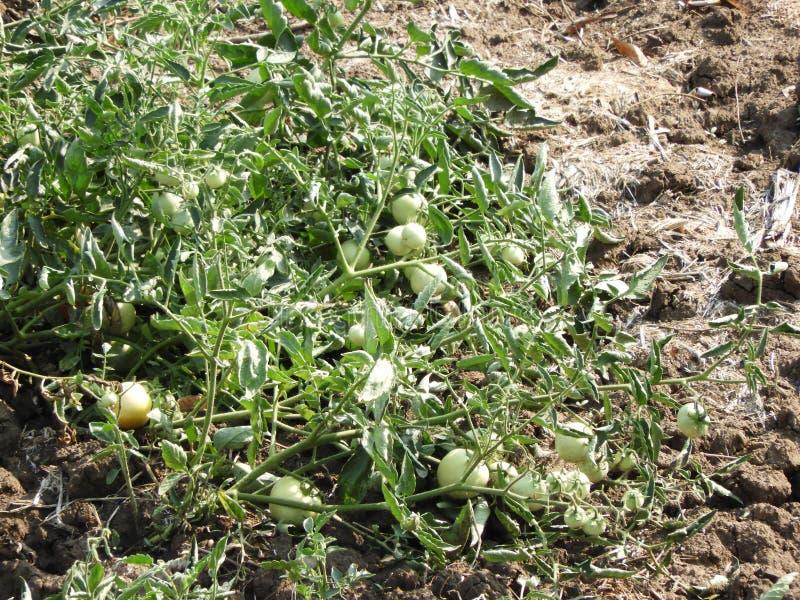 La plante de tomate avec le beau et frais vert n'est pas les tomates mûres photographie stock libre de droits