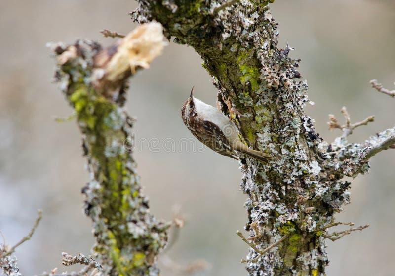 La plante grimpante de Brown sur le lichen a couvert la branche de chêne de Garry image stock