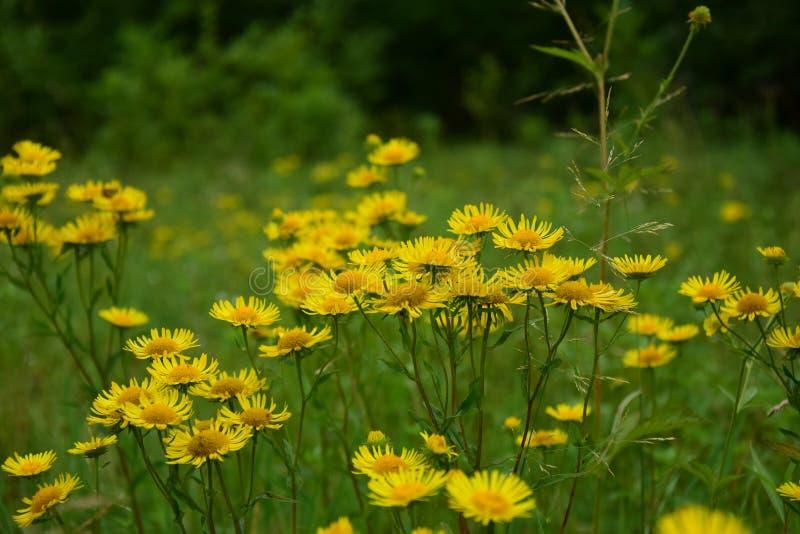 La plante médicinale est grande aunée ou couleur jaune photo libre de droits